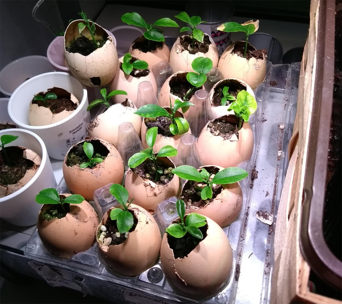 orange seedlings in eggshells germinating